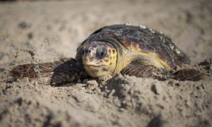 Sea Turtle Found Dead in Florida With Spear in Its Head
