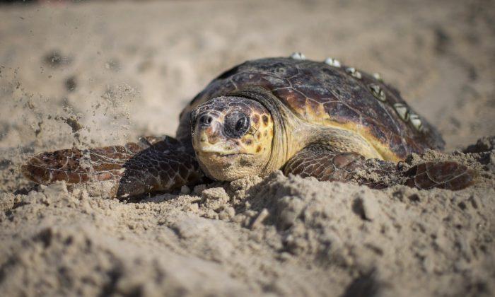 A sea turtle in Gaash, Israel. (Uriel Sinai/Getty Images)