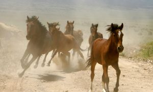 What Will Become of the Wild Horses?