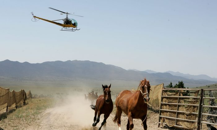 Helicopter pilot Rick Harmon of KG Livestock rounds up a group of wild horses during a gathering in Eureka, Nev., on July 7, 2005. (Justin Sullivan/Getty Images)