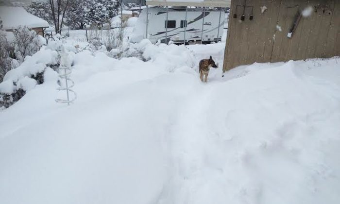 In this photo provided by Kim Serrano, a pet German Shepherd walks in a neighborhood blanketed in snow in Edgewood, N.M., Sunday, Dec. 27, 2015. New Mexico's governor declared a State of Emergency on Sunday as residents dealt with the fallout of a crippling snowstorm. (Kim Serrano via AP)