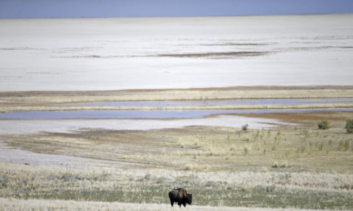 A bison grazing during an annual bison roundup of one of the country's largest and oldest public herds, on Antelope Island, Utah, on Oct. 23, 2015. Antelope Island is on the Great Salt Lake, about 50 miles north of Salt Lake City. (AP Photo/Rick Bowmer)