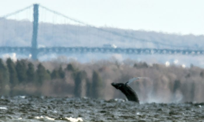In this photo provided by North Kingstown, R.I., Harbormaster Ed Hughes, a humpback whale breaches the surface near the Mount Hope Bridge in Rhode Island's Narragansett Bay on Monday, Dec. 28, 2015. A spokeswoman for the Department of Environmental Management says officers checked on the 50-foot whale and said it was in good condition and was last seen headed south toward open water. (Ed Hughes via AP)