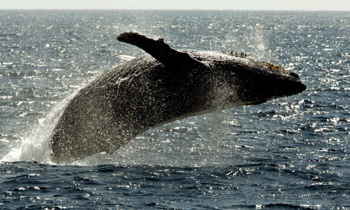 A humpback whale leaps out of the water in the channel off the town of Lahaina on the island of Maui in Hawaii on Jan. 23, 2005. The federal government is proposing removing most of the world's humpback whale population from the endangered species list. National Oceanic and Atmospheric Administration Fisheries announced on Monday, April 20, 2015, that they want to reclassify humpbacks into 14 distinct populations, and remove 10 of those from the list. (AP Photo/Reed Saxon)