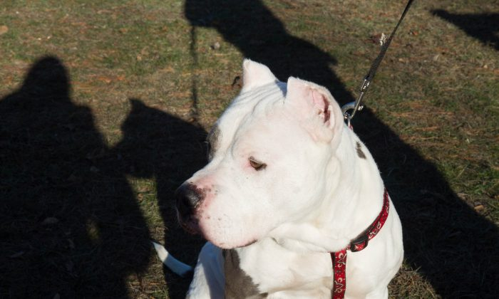A stock photo of a pit bull. (Holly Kellum/Epoch Times)