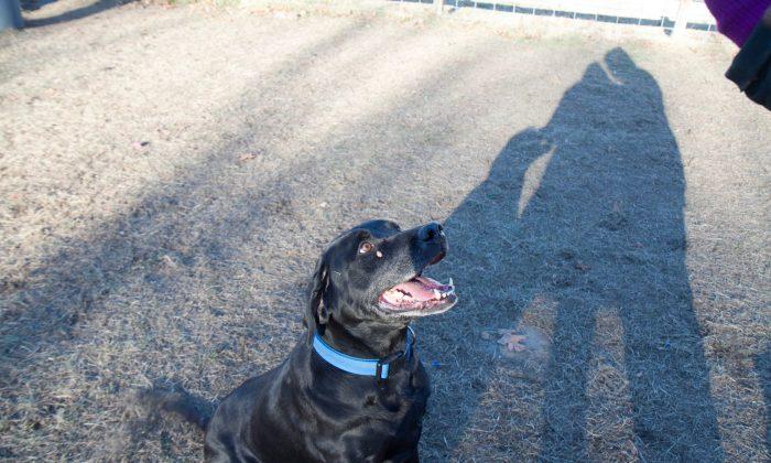 A stock photo of a black Labrador (Holly Kellum/Epoch Times)