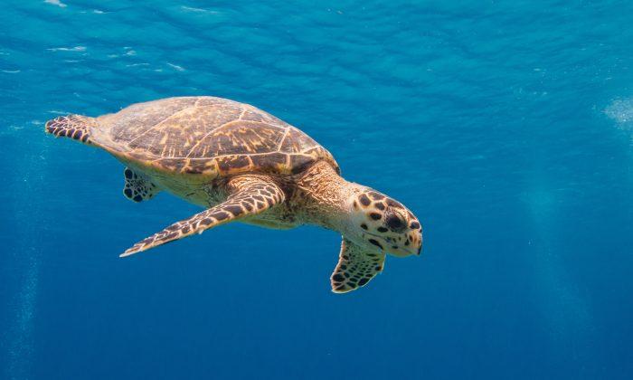 Hawksbill sea turtle. (SF Brit/CC BY-ND 2.0)
