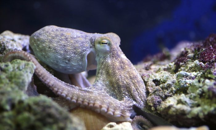 A common octopus resting on a reef. (Mattia ATH/iStock)