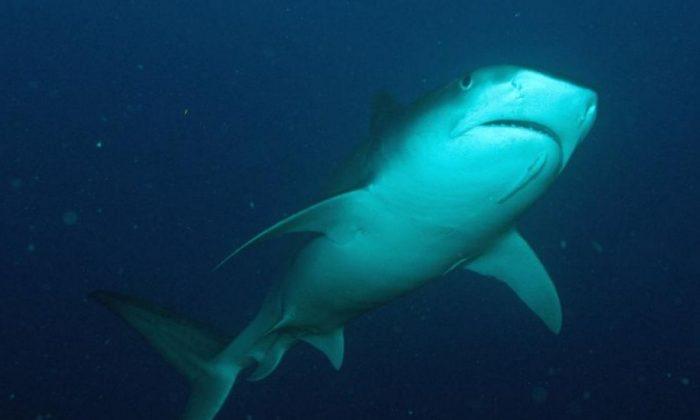 A tiger shark (NOAA.gov)