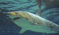 Video: Female Tiger Shark Eats A Male Whole in Aquarium