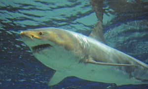Great White Shark Dies After Just Three Days at Okinawa Churaumi Aquarium in Japan