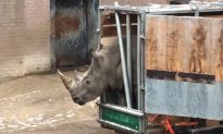 Video Shows Rhino Trying to Break Out of Its Cage in Holland