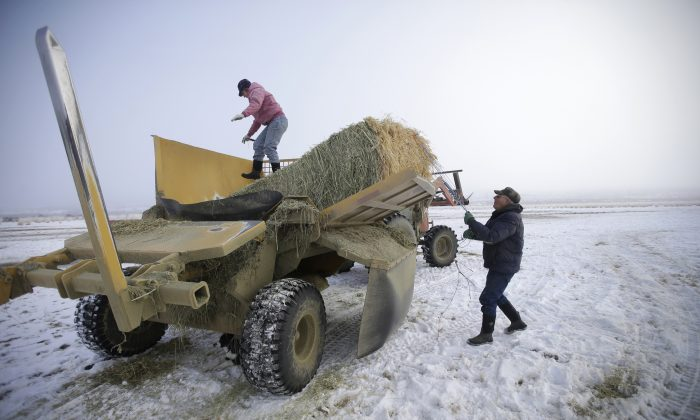 Rancher Jerry Miller, 79, and his daughter Tina Steeves deliver hay to his cattle Saturday, Jan. 9, 2016, on his ranch, in Crane, Ore. (AP Photo/Rick Bowmer)