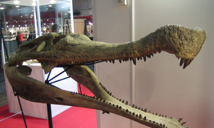 The head of a sarcosuchus imperator in Expominer 2007, Barcelona, Spain (Eduard Solà Vázquez/Wikipedia Commons)