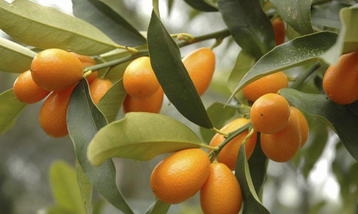Kumquat tree with fruit and leaves. (Karimala/iStock)