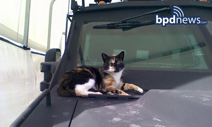 In this undated photo provided by the Boston Police Department, a cat dubbed SWAT Cat by the Boston Police Department's SWAT team, sits on the hood of an armored vehicle, in Boston. The team has been reunited with its beloved, unofficial mascot. The department posted on its website that SWAT Cat returned to the unit's home base in the city's Roxbury neighborhood Thursday morning, Jan. 14, 2016. (Boston Police Department via AP)