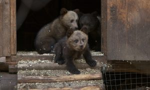 Viral Photos Show Brown Bear Cub Appearing to Strike Tai Chi Poses