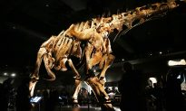 Exhibit Opens for Titanosaur, One of the Largest Dinosaurs Ever