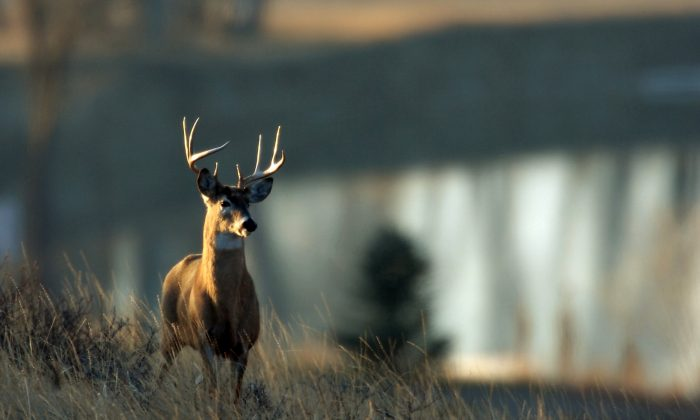 A whitetail deer buck stands on a ridge overlooking the Missouri River south of Great Falls, Mont., on Thursday, Dec. 6, 2007. (AP Photo/Great Falls Tribune, Robin Loznak)