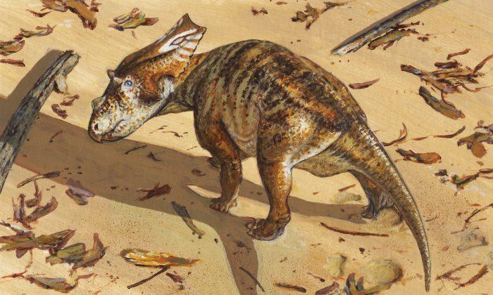 Life reconstruction of the baby chasmosaur (Michael Skrepnick)
