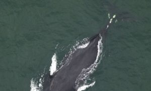 Endangered Right Whale Sighting in Folly Beach, South Carolina Confirmed by Researchers