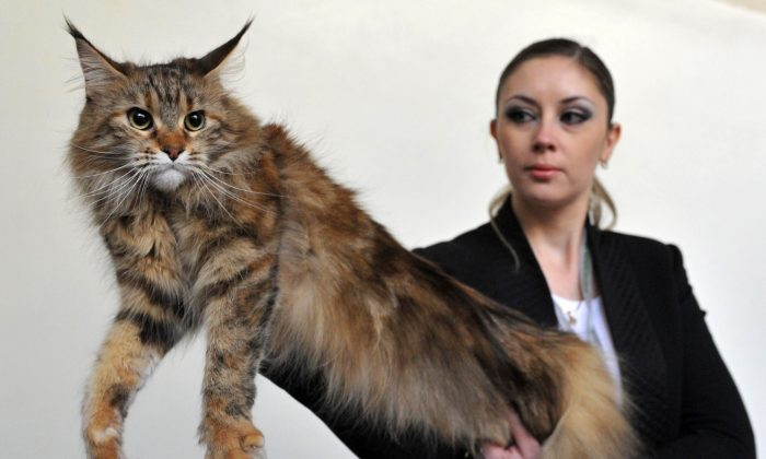 A Maine Coon cat in a file photo. Vyacheslav Oseledko/AFP/Getty Images)