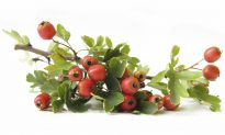 Healing the Heart With Hawthorn