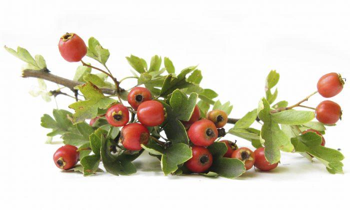 Hawthorn branch. (UroshPetrovic/iStock)