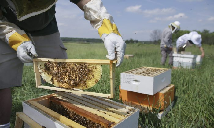 Volunteers check beehives at a farm in Mason, Ohio, May 27, 2015. Some pesticides are thought to pose a danger to bees and other pollinators. Health Minister Jane Philpott says the practice of allowing the use of pesticides that aren't fully approved for sale will end. (AP Photo/John Minchillo)
