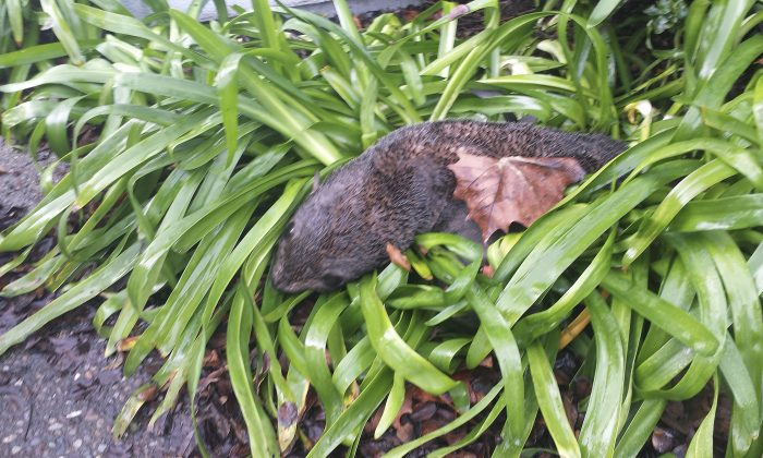 An emaciated baby northern fur seal that was found in some bushes at a business park in Hayward, Calif., on Jan. 20, 2016. (Marine Mammal Center via AP)
