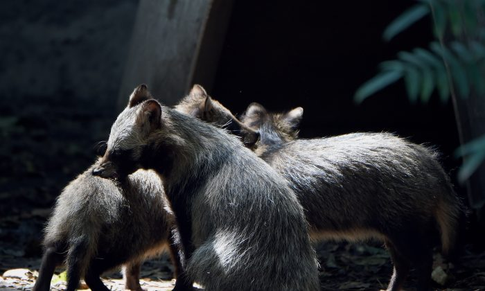 View of a group of raccoon dogs or Tanuki (Nyctereutes procyonoides) at the Chapultpec Zoo in Mexico City on August 06, 2015. A month ago nine raccoon dog pups were born. This species is native from Japan and China, and the parents of the cubs were donated by Japan. (ALFREDO ESTRELLA/AFP/Getty Images)
