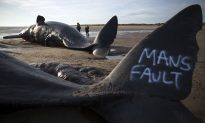 Sperm Whales Wash up on English Beach, People Vandalize Them With Graffiti