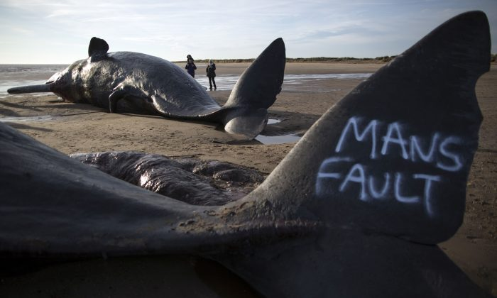 Graffiti saying 'mans fault' is seen on the tail of one of three Sperm Whales that were found washed ashore on a beach near Skegness over the weekend on January 25, 2016 in Skegness, England. The whales are thought to have been from the same pod as another animal that was found on Hunstanton beach in Norfolk on Friday.  (Photo by Dan Kitwood/Getty Images)