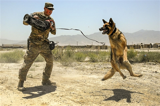 A U.S. Soldier trains his working dog on Bagram Airfield, Afghanistan, on July 4, 2015. (U.S. Army photo by Chief Warrant Officer 2 Ryan Boas)