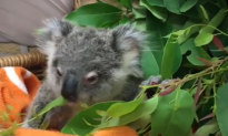 Young Koala Found Wandering Alone Becomes an Internet Star (Video)