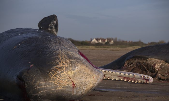 Two of the five Sperm Whales that were found washed ashore on beaches near Skegness over the weekend on January 25, 2016 in Skegness, England. (Photo by Dan Kitwood/Getty Images)