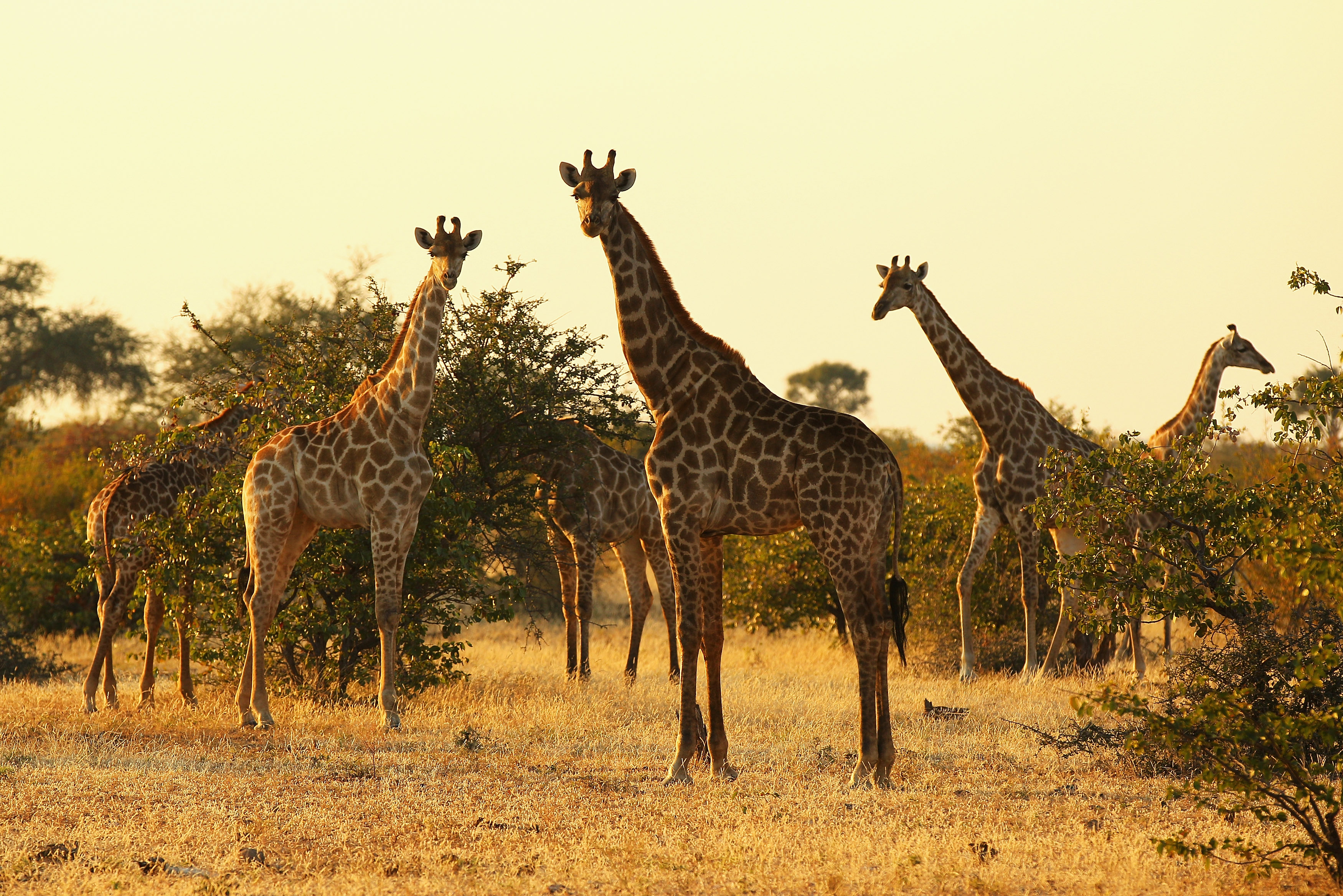 A tower of giraffes at sunrise in the Mashatu game reserve in Mapungubwe, Botswana, on July 27, 2010. (Cameron Spencer/Getty Images)