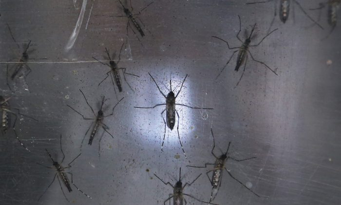 Aedes aegypti mosquitos are seen in a lab at the Fiocruz institute on January 26, 2016 in Recife, Pernambuco state, Brazil. The mosquito transmits the Zika virus and is being studied at the institute. (Mario Tama/Getty Images)