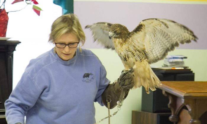 A red-tailed hawk held by Ellen Kalish, director of Ravensbeard Wildlife Center during Winterfest in Wurtsboro on Feb. 6, 2016. Red-tailed hawks love open fields because they are home to mice, rats, rabbits, groundhogs and other small animals. You will not see these birds hunting in a forest. (Holly Kellum/Epoch Times)