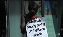 Outrage Over Annual Slaughter of 250 Whales in Faroe Islands