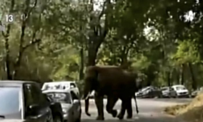 Friday, Feb. 12, 2016 image taken from a video footage run by China's CCTV via AP Video, an elephant pushes a car in Xiashuangbanna in southwestern China's Yunnan province. The elephant wandered out of a nature reserve on Friday following a failed courtship and started playing with cars parked along a highway, slightly damaging more than a dozen vehicles, authorities said.  (CCTV via AP Video)