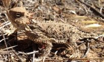 Watch: Horned Lizard Shoots Blood out of Its Eye for Self Defense