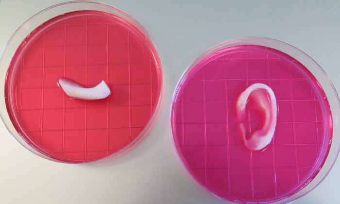 Completed ear and jaw bone structures printed with the Integrated Tissue-Organ Printing System (Wake Forest Institute for Regenerative Medicine)