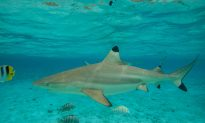 Shark Attacks 23-Year-Old Surfer in Hawaii: Reports