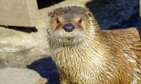 Calgary Zoo River Otter Dies After Becoming Tangled in Pair of Pants and Drowning
