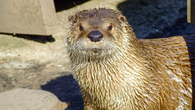 Logan, a 12-year-old male North American river otter, died after getting tangled in a pair of pants an employee had provided. (Calgary Zoo)