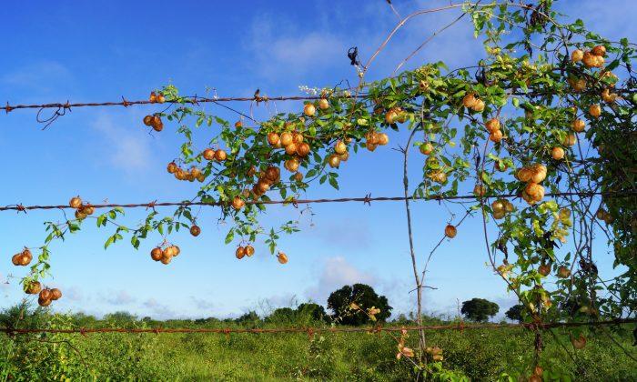 (Cardiospermum halicacabum/iStock)