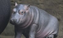 Baby Hippo Born in Prague Zoo