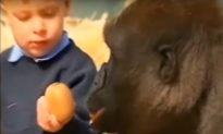 Video: Little Girl Who Grew up With Gorillas Reunites With Them 12 Years Later
