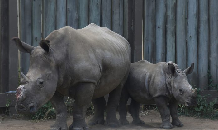A baby rhino stands with its dehorned mother in their enclosure at a rhino orphanage in the Hluhluwe-iMfolozi Game Reserve in the KwaZulu Natal Province, South Africa, on Feb. 15, 2016. Rhinos have been slaughtered in increasing numbers to meet demand for their horns in Asia, particularly Vietnam. (AP Photo/Denis Farrell)